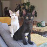 Kittens Sponge en Bob zijn in een gastgezin in Utrecht